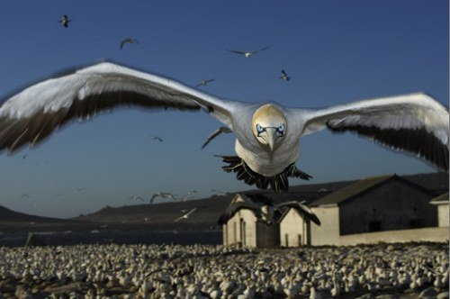 Cape Gannet comes to land, Malgas Island, South Africa