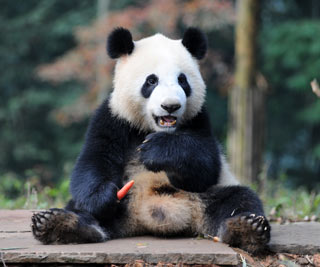 Male Panda